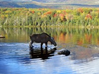 Moose cow in lake