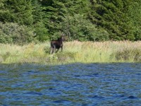 Moose on Eagle Lake AWW