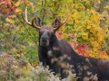 Tony Vero Jr Sept Moose Hunt